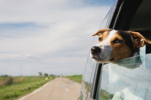A dog hanging out of a car window, traveling to a timeshare